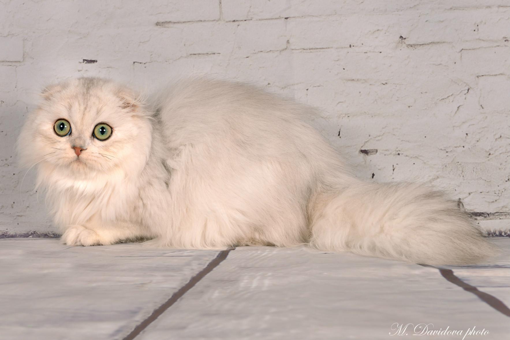 Shaparack Cattery | Cat Kitten for Sale | Exotic Persian