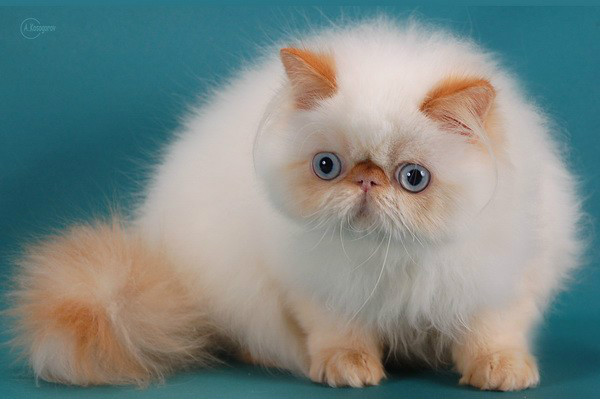 Shaparack Cattery | Cat Kitten for Sale | Exotic Persian Himalayan