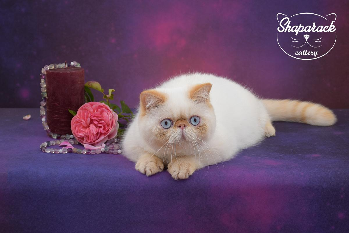 Shaparack Cattery | Cat Kitten for Sale | Exotic Persian